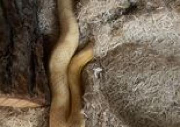 Adult Unsexed Butter Corn Snake