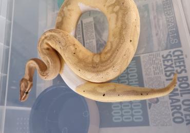 Banana pied royal python
