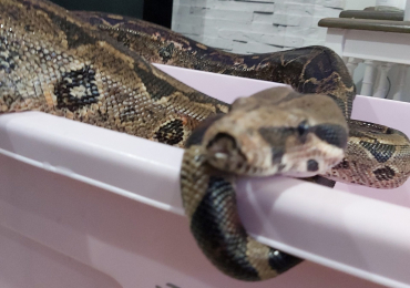 Rescue boa for rehoming