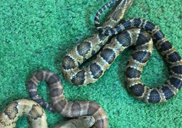 Pair of false water cobras