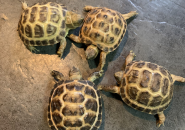 Cb20 Horsefield tortoises