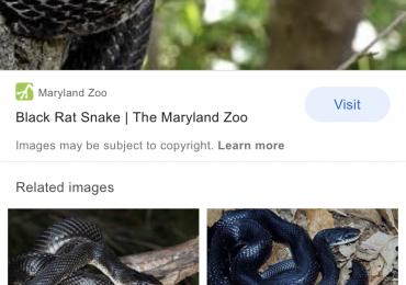 WANTED rat snake