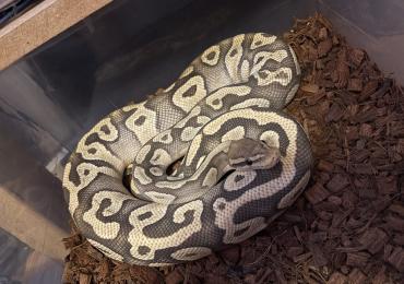 Super pastel Mojave Ghost royal python