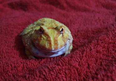 Albino PAC MAN Frogs With Setups