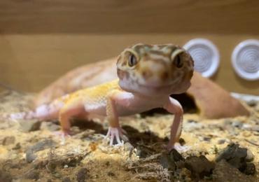 Mac snow leopard gecko