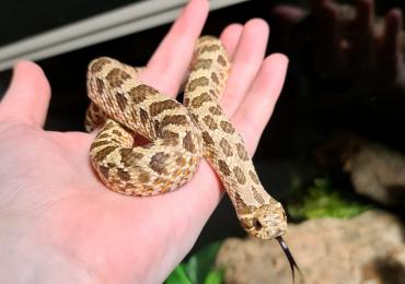 Hognose snake, male