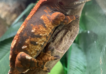 Unsexed crested gecko