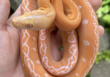 Superdwarf reticulated pythons