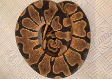 Enchi possible yellow belly