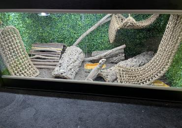 Female Bearded Dragon with terrarium and full setup