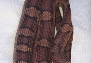 Two male adult corn snakes