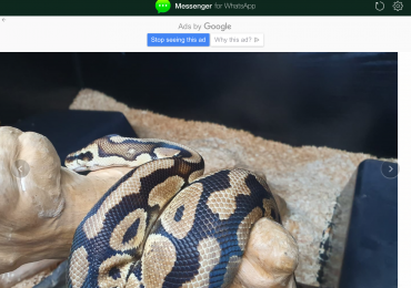Adult male pastel ball python