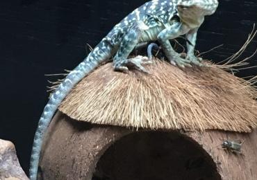 1.1 proven Texan collard lizards