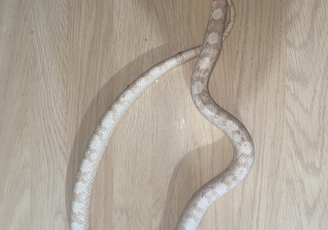 Adult Snow Corn Snake