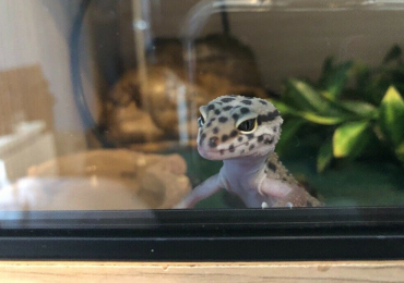 Leopard Gecko with full set up
