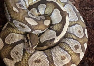 Male lesser platinum het pied proven breeder ball python