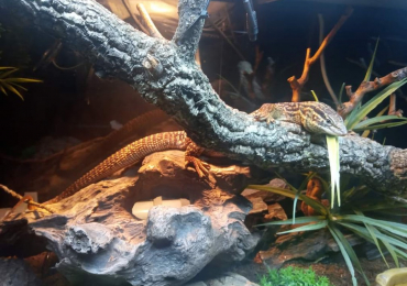 Ackie monitor 3yrs old