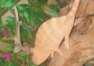 Blue bar panther chameleon