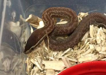hatchling cape house snakes