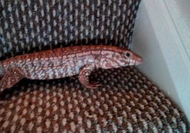 Red Tegu Female