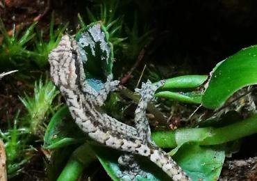 Juvenile mourning geckos.
