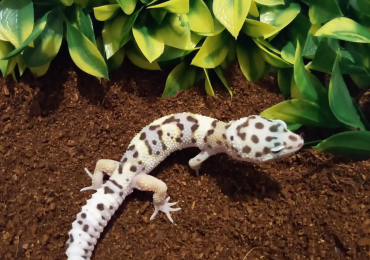 Mack Snow Pos 50% Het Tremper Albino