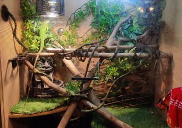 Green iguana and enclosure