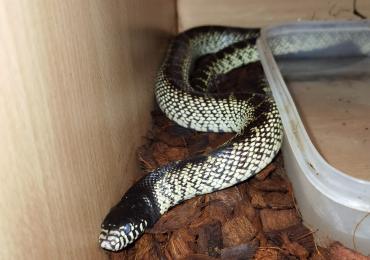 Desert King snake.