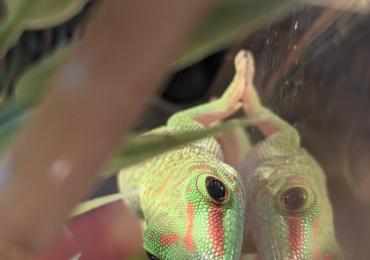 Giant Madagascan Day Gecko Juveniles