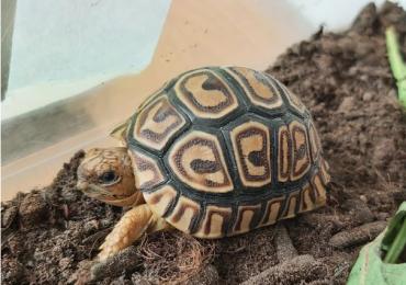 Baby leopard Tortoise (stigmochelys pardalis)