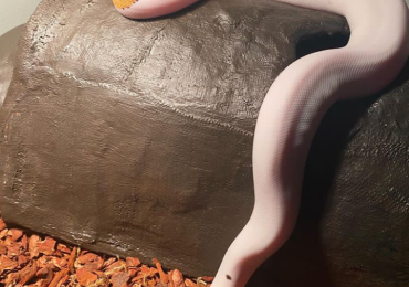 Pied python
