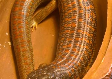 berber skink (captive bred '18) unsexed