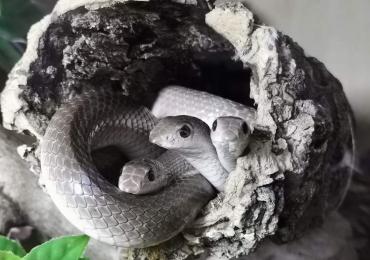2.1.2 Beaked Snakes (Rhamphiophis Oxyrynchus)