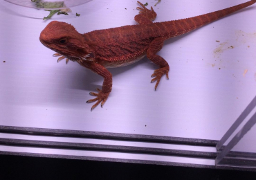 Hypo red trans leather back baby