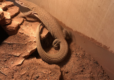 5month male Ackie monitor sale or swap for female