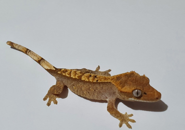 CB20 Unsexed Crested Gecko
