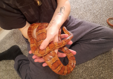 2 male corn snakes and viv