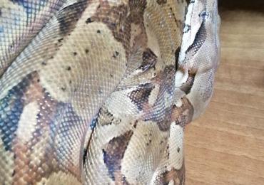 5yo BCI Boa Constrictor Male