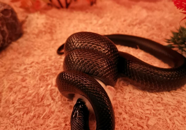 (Sold) Mexican black king snake