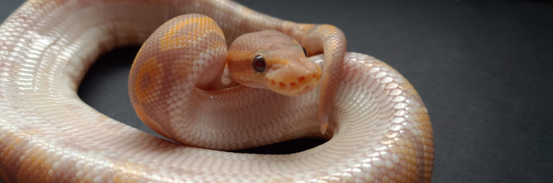 Black Pastel Coral Glow 100%het Albino