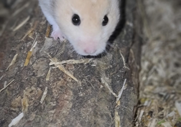 Hamsters for rehome