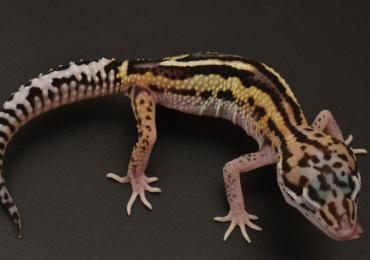 Leopard gecko Hatchlings