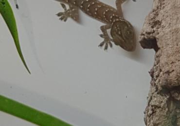 Green eyed geckos