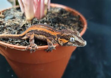 Cb20 Striped Gargoyle Gecko